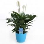 3-Spahipyllum planta de apartament care curata aerul