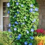 3-Zorele albastre sau Ipomoea floare cataratoare de gradina