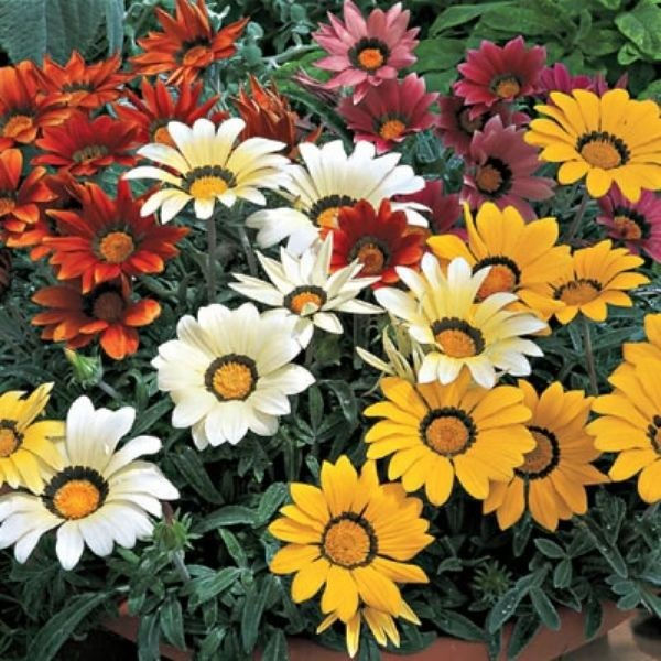 3-amestec de Gazania flori anuale de gradina sau balcon