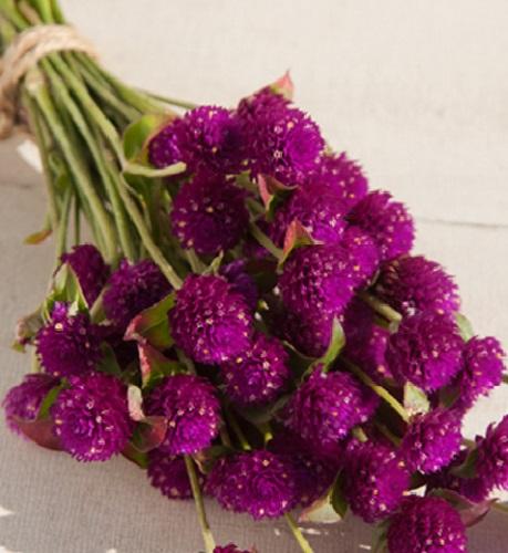 3-buchet de Bumbuscute mov inchis Gomphrena floare nemuritoare