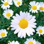 3-margarete flori perene de gradina