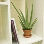 3-planta de Aloe vera in ghiveci mic