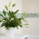 3-spathiphyllum planta pacii in amenajarile interioare