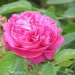 3-trandafir de dulceata Rosa Damascena