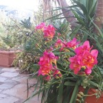 32-frezii roz intr-un ghiveci din curtea unei case insula Hydra Grecia
