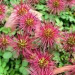 4-Acaena planta perena cu flori acoperitoare de sol