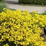 4-Alyssum saxatile floare perena cu flori galbene