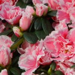4-Azalee sau Rododendron cu flori roz cu bordura alba