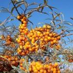 4-Catina alba-Hippophae rhamnoides-arbust medicinal de gradina