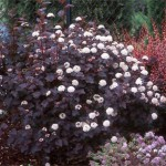 4-Fizocarp rosu Diabolo arbust ornamental gard viu