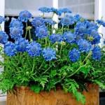 4-Scabiosa sau Fluturele albastru floare perena de gradina