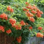 4-Trompeta sau Luleaua Turcului arbust catarator de gradina