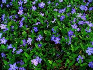 4-Vinca Minor floare taratoare potrivita pentru covoare de flori in gradina