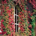 4-Vita Canadiana ornamentala liana cataratoare decorativa