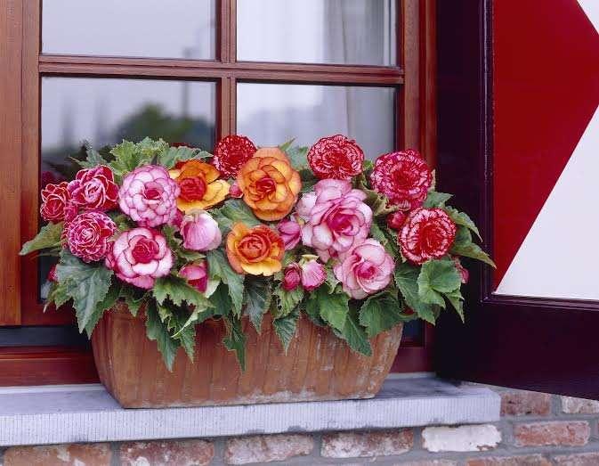4-begonii colorate jardiniera amenajare balcon