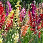4-gladiole flori colorate perene de gradina