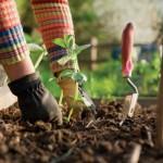 4-plantarea rasadurilor in gradina primavara