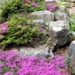 4-rocarie de gradina cu flori perene taratoare