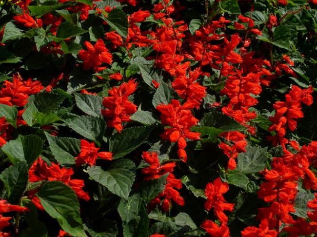 4-salvia cu flori rosii planta anuala de gradina