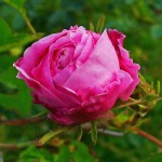 4-trandafir de dulceata Rosa Centifolia