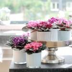 4-violete africane sau Saintpaulia plante cu flori de ghiveci