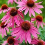 5-Echinacea Purpurea floare perena roz de gradina