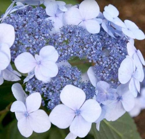 Hortensie Twist n Shout flori albastre cu bleu