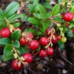 5-Merisor Vaccinium Vitis Idaea arbust medicinal de gradina