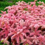 5-Sedum pulchellum sau Steaua de mare floare perena taratoare