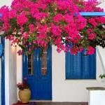 5-bougainvillea inflorita casa alba cu usi si ferestre albastre