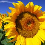 5-floarea soarelui planta anuala