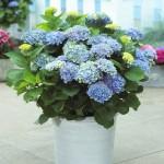 5-hortensii in florite in ghiveci