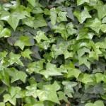5-iedera liana decorativa rezistenta la umbra ger si seceta