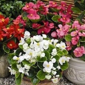 5-mix de begonii de gradina flori anuale