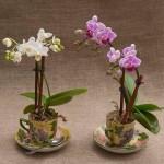 5-orhidee inflorite plantate in cescute din ceramica