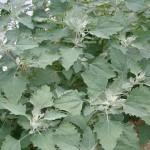 5-spanac salbatic sau caprita buruiana planta comestibila
