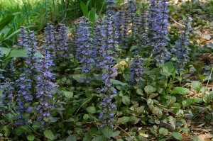 6-Ajuga Reptans planta perena taratoare cu flori albastre