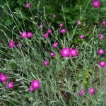 6-Lychnis Coronaria sau Barba imparatului floare perena roz