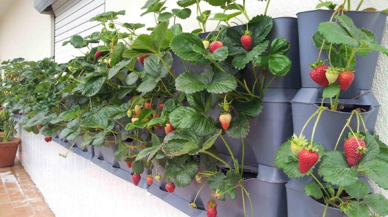 6-cultivare legume balcon