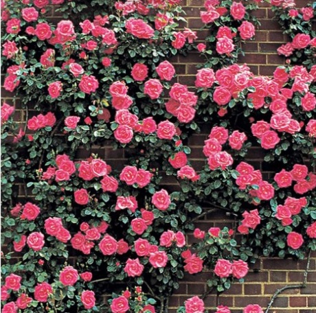 trandafiri cataratori roz perete