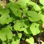 6-usturoita buruiana comestibila alliaria petiolata