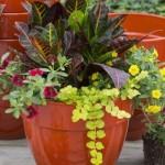 7-Croton planta cu seva toxica care poate provoca dievrse iritatii