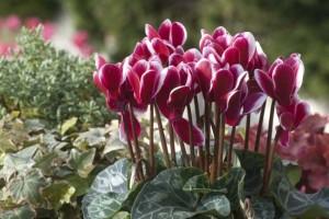7-Cyclamen cu flori ciclam cu margini albe