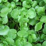 7-cresonul nasturelul sau macrisul de balta planta comestibila