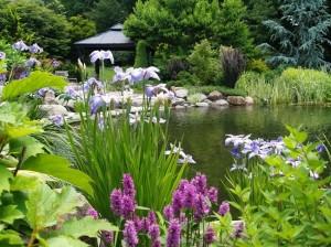 7-irisi lila plantati pe malul unui lac ornamental