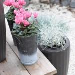 8-Cyclamen cu flori roz planta toxica de apartament
