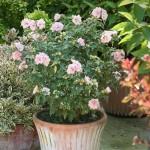 8-Hibiscus cu flori roz arbust ornamental de exterior si interior