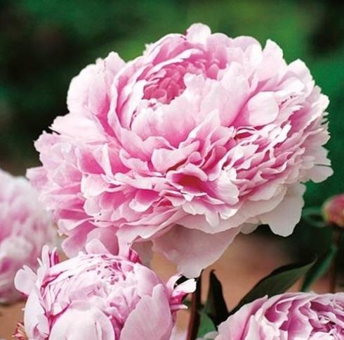 bujor flori roz varietate Sarah Bernhardt