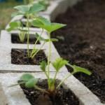 8-cultivare capsuni in boltari din beton pentru zidarie