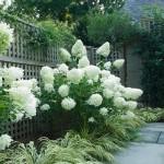 9-hortensii cu flori albe pufoase decor gradina romantica